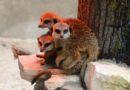 Pirms Ziemassvētkiem surikati gatavi izrādīt savu guļamistabu