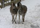 Noslēgumam tuvojas Ziemas naktis Zoodārzā