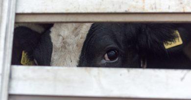 Dzīvnieku aizstāvji pirms Ziemassvētkiem aicina uz žēlsirdības akciju pie lopkautuves
