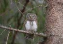 Apstiprināts sugas aizsardzības plāns sešām Latvijā ligzdojošām pūcēm