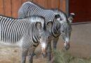 Zoodārza kalnos un savannā  lielākās zebras un neīstas aitas