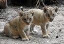 Āfrikas lauvēniem doti latviski vārdi – Teika un Varis