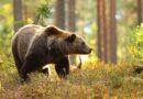 Lāči ar netipisku uzvedību izšķirti un nogādāti uz mežu masīviem